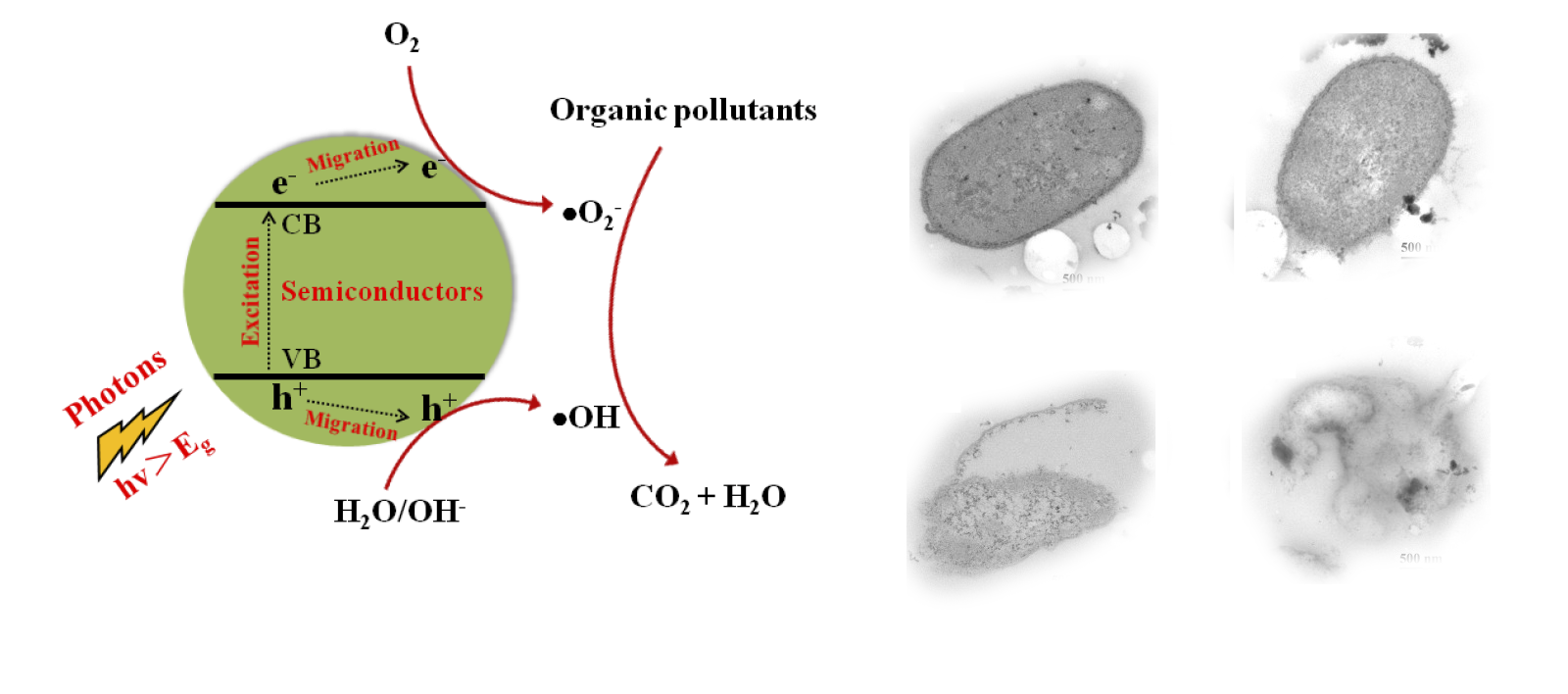 Advances in photocatalytic disinfection of bacteria------<br>Wanjun Wang,Po Keung Wong*